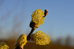 Morgentau auf der blühenden Frühlingsweide knospt Stockfoto