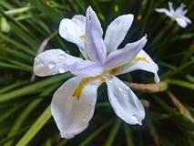 Morgentau auf Iris lizenzfreie stockbilder