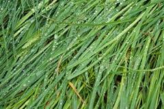 Morgentau auf zerknittertem Gras Stockbilder