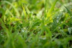 Morgentau tränkte das frische grüne Gras, das herausgestellt wurde stockbilder