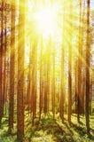 Morgenwald an einem sonnigen Sommertag Stockbild