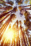 Morgenwald an einem sonnigen Sommertag Stockfotos