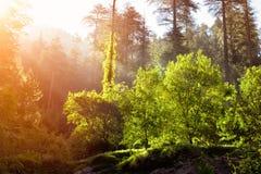 Morgenwald mit Sonnenstrahlen Lizenzfreies Stockfoto