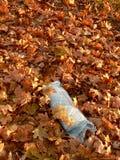 Morgenzeitung in den Herbstblättern. Stockfotos