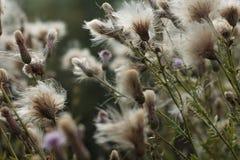 Morgon Autumn Meadow Torrt tistelfält arkivfoton