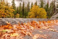 Morgon för höst för Yosemite dal molnig med stupade gulingsidor på den våta asfalten Royaltyfria Bilder