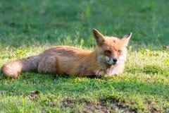 Morgon 4 för röd räv Arkivfoton