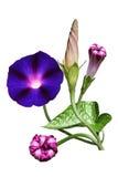 Morgon Glory Flower Arkivfoton