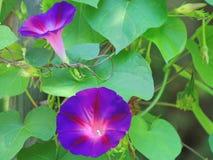 Morgon Glory Flowers i blom Arkivfoto