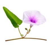 Morgon Glory Flowers på vit bakgrund Arkivfoton