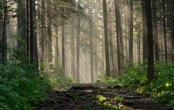 Morgon i den djupa skogen Fotografering för Bildbyråer