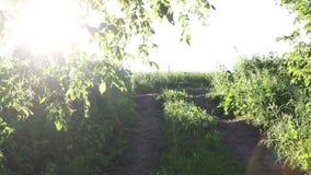Morgon i skogen som solens strålar passerar till och med träd, myggor som överallt flyger stock video