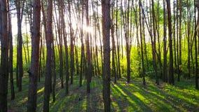 Morgon i trät Strålar för sol` s passerar till och med träden lager videofilmer