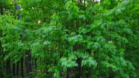 Morgon i trät Strålar för sol` s passerar till och med träden stock video