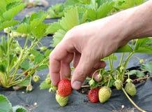 Morgon på den härliga jordgubbelantgården Royaltyfri Bild
