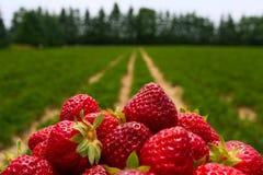 Morgon på den härliga jordgubbelantgården Fotografering för Bildbyråer