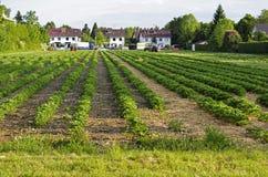Morgon på den härliga jordgubbelantgården Royaltyfri Fotografi