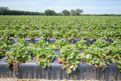 Morgon på den härliga jordgubbelantgården Royaltyfria Foton