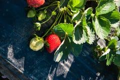 Morgon på den härliga jordgubbelantgården Royaltyfria Bilder