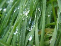 Morgon Ross, gräs, gräsplaner, makro Arkivbild