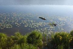 Morgon sjö med gräs på kusten och de blommande näckrornas Arkivbild