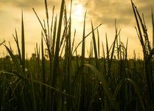 Morgondagg överst av ris Arkivfoton