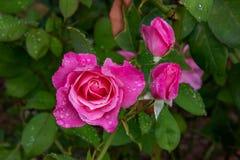 Morgondagg i Rose Garden royaltyfri foto