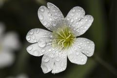 Morgondagg på blomman Royaltyfria Bilder