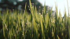 Morgondagg på closeupen för risfältfält stock video