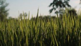 Morgondagg på closeupen för risfältfält arkivfilmer