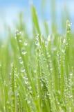 Morgondagg på gräs Royaltyfri Fotografi