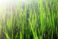 Morgondagg på gräsplanen som läppjar ett uppfriskande öga Arkivfoto
