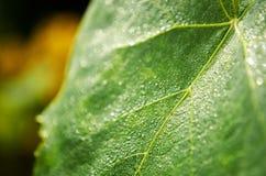 Morgondagg på grön lövverk ovanför den härliga naturen för morgonen för guld för fågeloklarhetsfärger tidiga klipska stiger den a Royaltyfri Foto