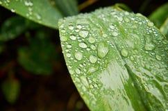 Morgondagg på grön lövverk ovanför den härliga naturen för morgonen för guld för fågeloklarhetsfärger tidiga klipska stiger den a Fotografering för Bildbyråer