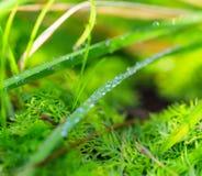 Morgondagg, vibrerande grönt gräs Fotografering för Bildbyråer