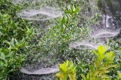 Morgondaggdroppar på en spindelrengöringsduk av en Holly Bush Royaltyfria Bilder