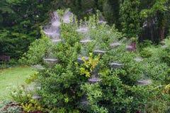 Morgondaggdroppar på spindelrengöringsdukar av en Holly Bush Arkivfoton