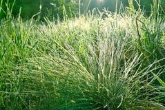 Morgondagget på gräset i skogen. Royaltyfria Foton