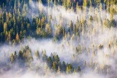 Morgondimma i gran- och granskog i varmt solljus arkivfoto