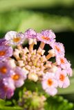 Morgondroppar av dagg på kronbladen av blommor Royaltyfria Foton