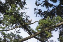 Morgonduvan och sörjer trädet Arkivfoto