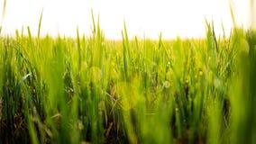 Morgonen dews på risfältfält Arkivfoton