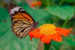 Morgonfjäril & krysantemum Arkivfoton