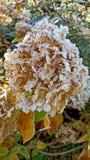 Morgonfrost på gula höstsidor Arkivfoton