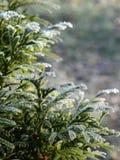 Morgonfrostlager över grön vintergrön branche tippar Royaltyfri Fotografi