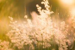 Morgongräs blommar i morgonen Royaltyfria Bilder