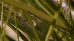 Morgongräs Dagg droppar av regn, gör grön lawn Makro det regna för ` s arkivfilmer