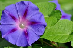 Morgonhärlighet, öppen blomma för ipomeapurpurea Royaltyfria Foton