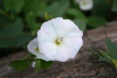 Morgonhärlighet för vit blomma arkivfoton