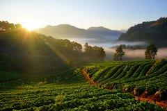 Morgonjordgubbelantgård Chiangmai landskap thailand Fotografering för Bildbyråer